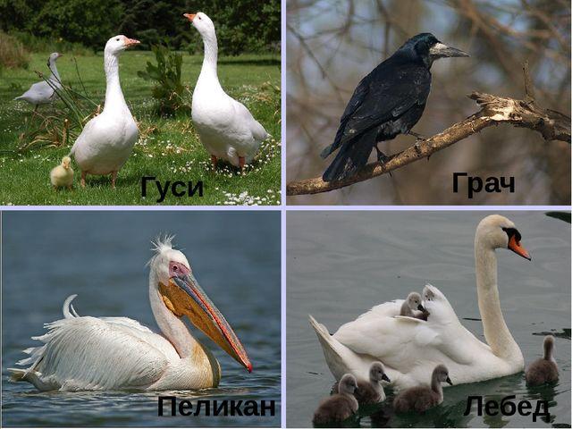 Гуси Пеликан Грач Лебедь
