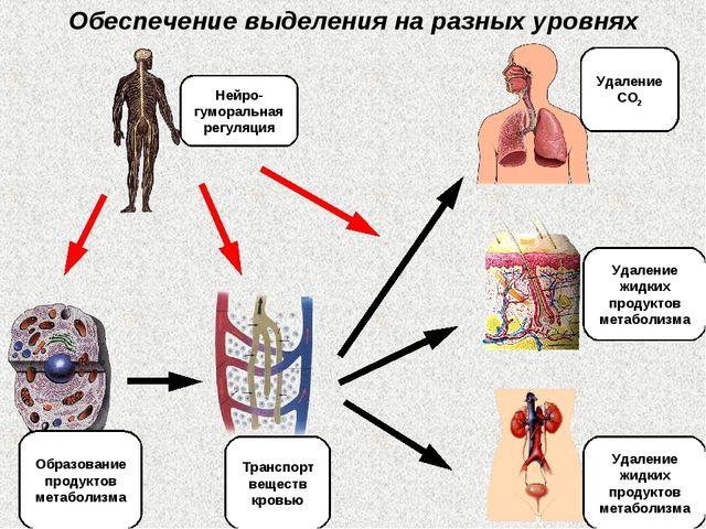 Обеспечение выделения на разных уровнях Образование продуктов метаболизма Тра...