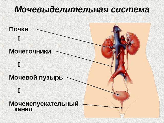 Мочевыделительная система Почки  Мочеточники  Мочевой пузырь  Мочеиспускат...