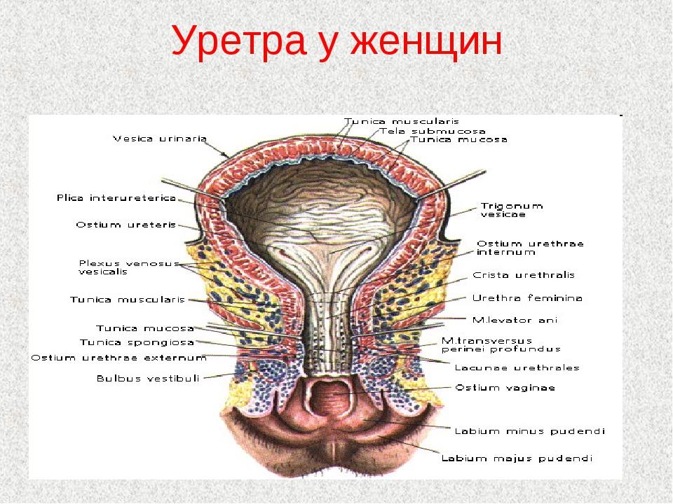 Уретра у женщин