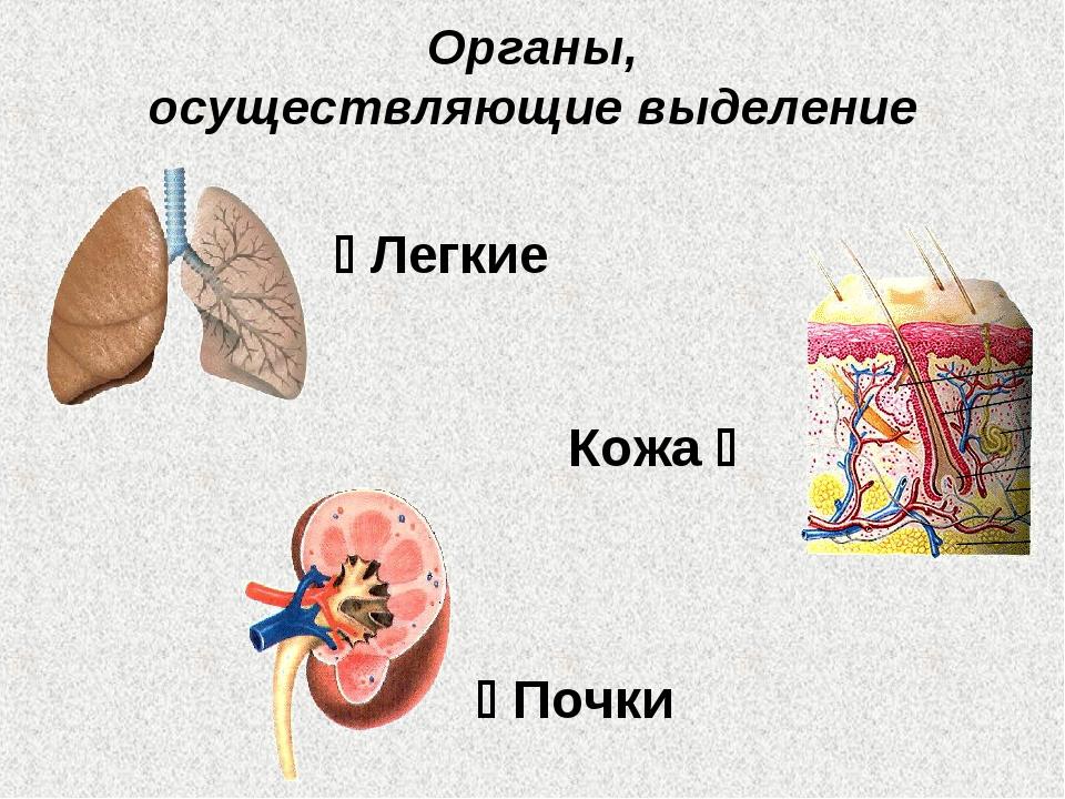 Органы, осуществляющие выделение  Легкие Кожа   Почки