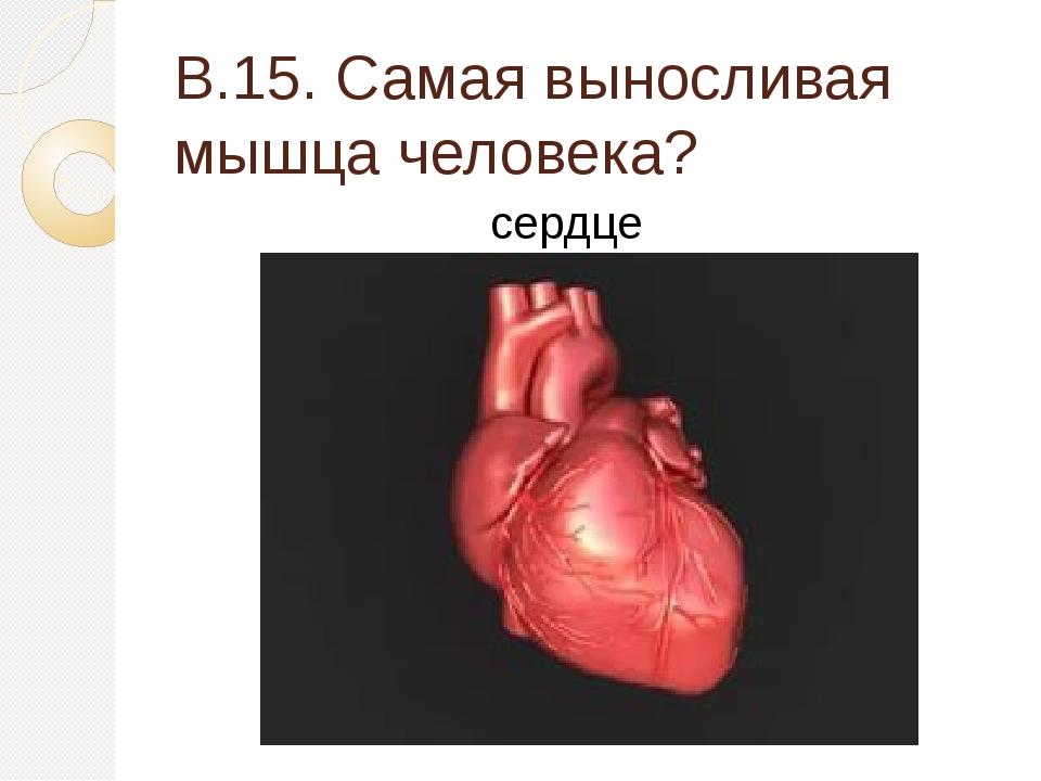 В.15. Самая выносливая мышца человека? сердце