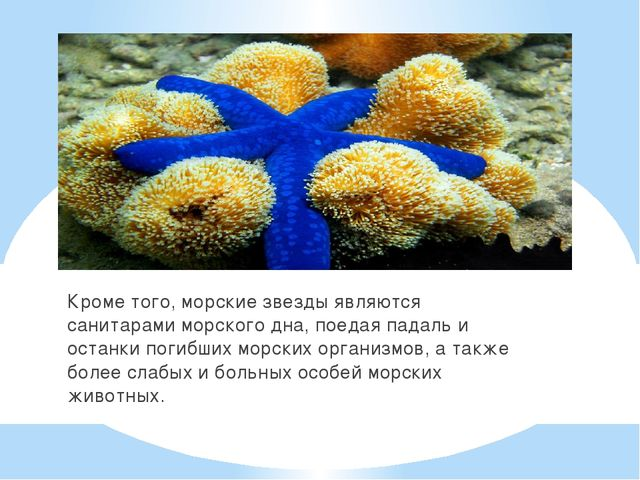 Кроме того, морские звезды являются санитарами морского дна, поедая падаль и...