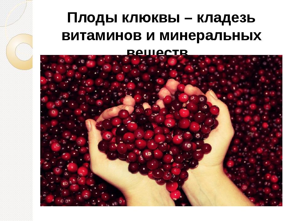 Плоды клюквы – кладезь витаминов и минеральных веществ.