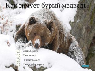 Как зимует бурый медведь? Спит в берлоге Спит в снегу Бродит по лесу Спит в д