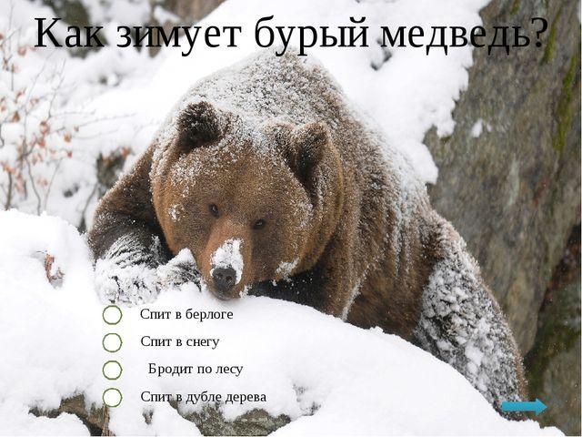 Как зимует бурый медведь? Спит в берлоге Спит в снегу Бродит по лесу Спит в д...
