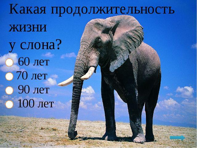 Какая продолжительность жизни у слона? 60 лет 70 лет 90 лет 100 лет