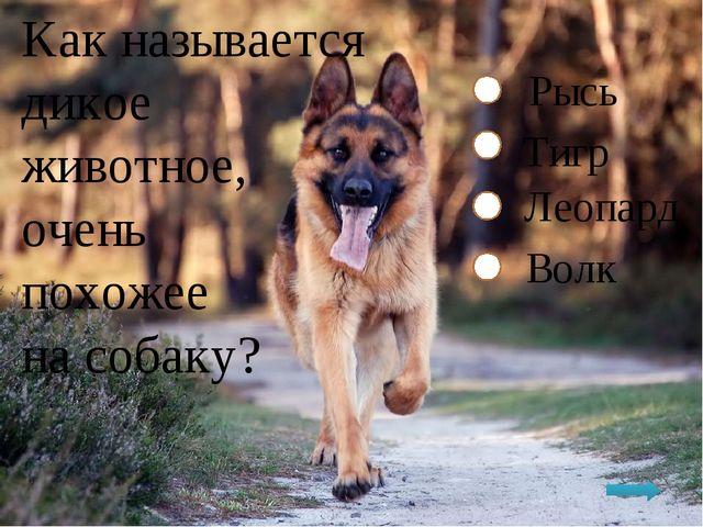 Как называется дикое животное, очень похожее на собаку? Рысь Тигр Леопард Волк