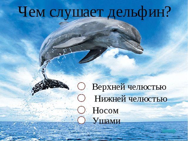 Чем слушает дельфин? Верхней челюстью Нижней челюстью Носом Ушами