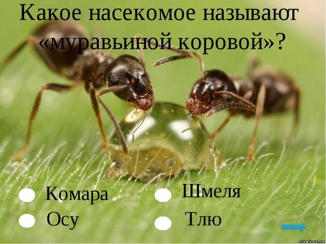 Какое насекомое называют «муравьиной коровой»? Комара Осу Тлю Шмеля