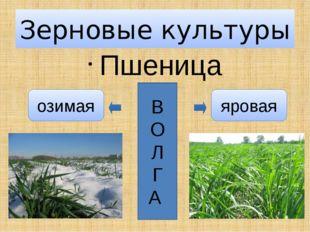 Пшеница Зерновые культуры В О Л Г А яровая озимая