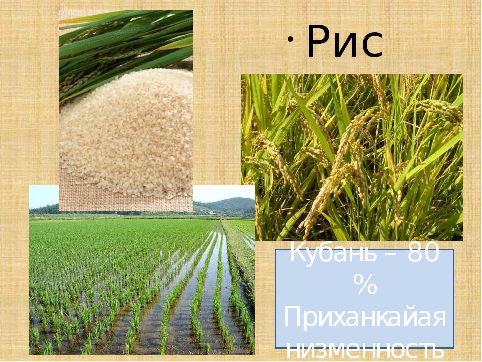 Рис Кубань – 80 % Приханкайая низменность