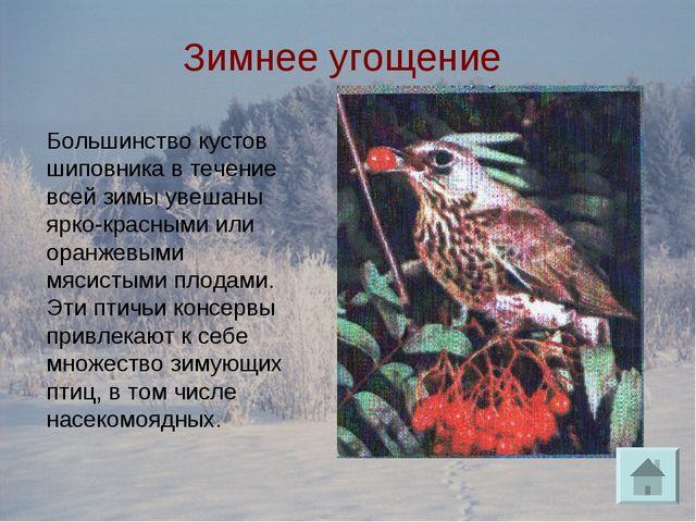Зимнее угощение Большинство кустов шиповника в течение всей зимы увешаны ярко...
