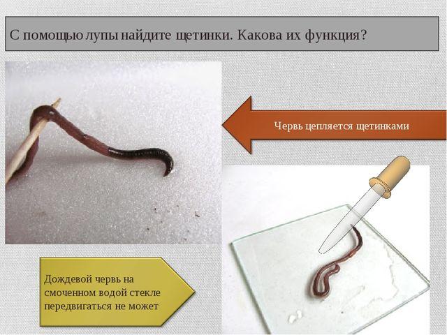 С помощью лупы найдите щетинки. Какова их функция? Дождевой червь на смоченно...