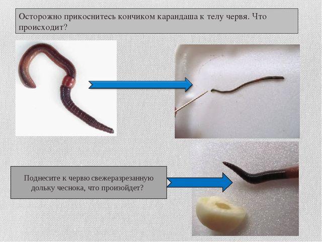 Осторожно прикоснитесь кончиком карандаша к телу червя. Что происходит? Подне...