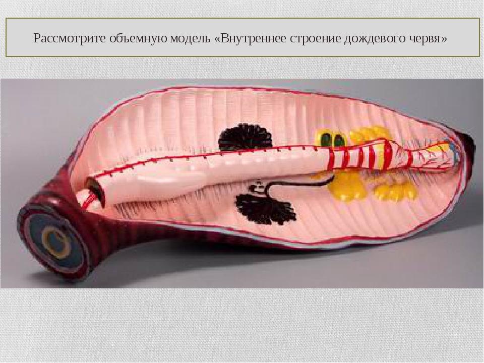 Рассмотрите объемную модель «Внутреннее строение дождевого червя»