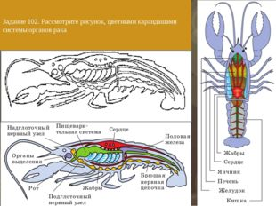 Задание 102. Рассмотрите рисунок, цветными карандашами системы органов рака