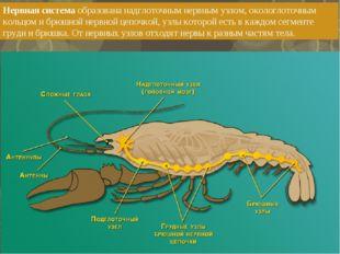 Нервная система образована надглоточным нервным узлом, окологлоточным кольцом