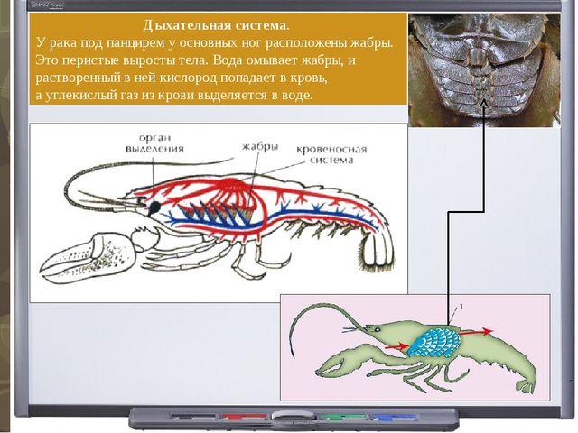 Дыхательная система. У рака под панцирем у основных ног расположеныжабры. Эт...