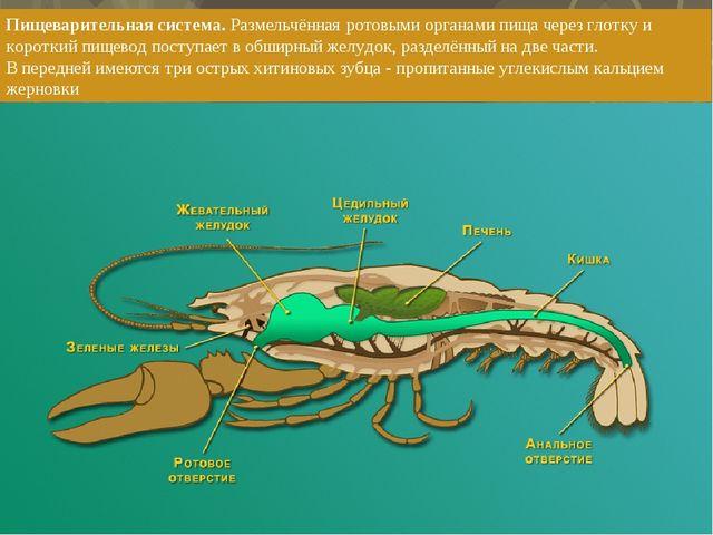 Пищеварительная система. Размельчённая ротовыми органами пища через глотку и...