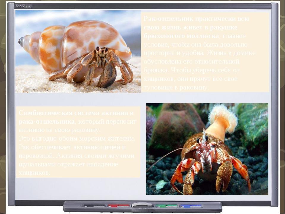 Рак-отшельник практически всю свою жизнь живет в ракушке брюхоногого моллюска...