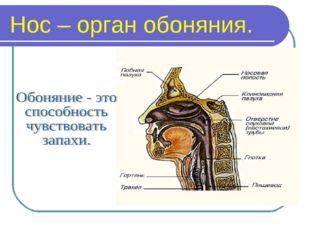 Нос – орган обоняния.
