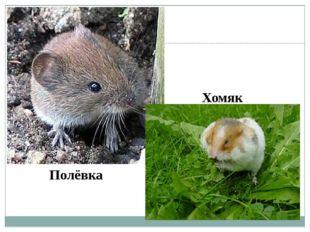 Полёвка Хомяк