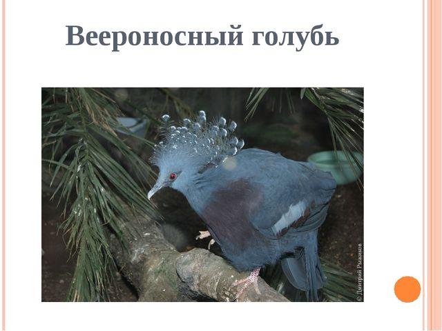 Веероносный голубь