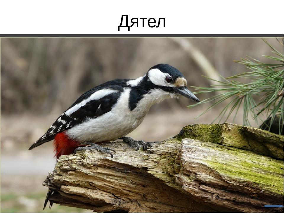 Зелёный дятел Лебедь- шипун
