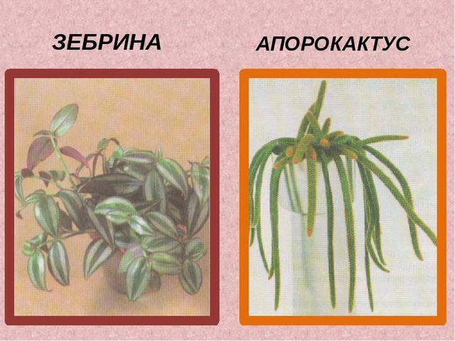 АПОРОКАКТУС ЗЕБРИНА