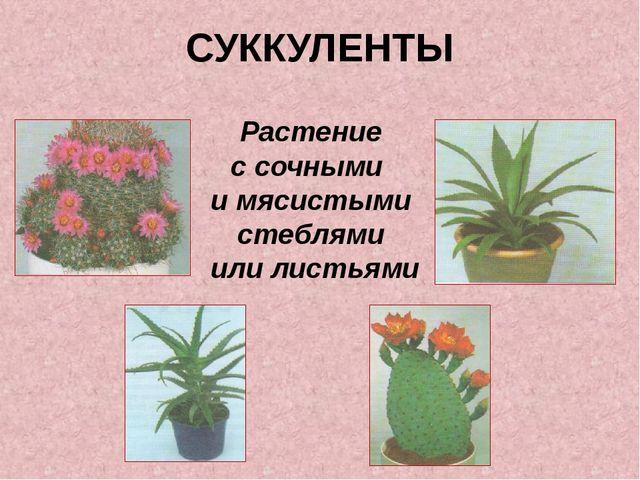 СУККУЛЕНТЫ Растение с сочными и мясистыми стеблями или листьями