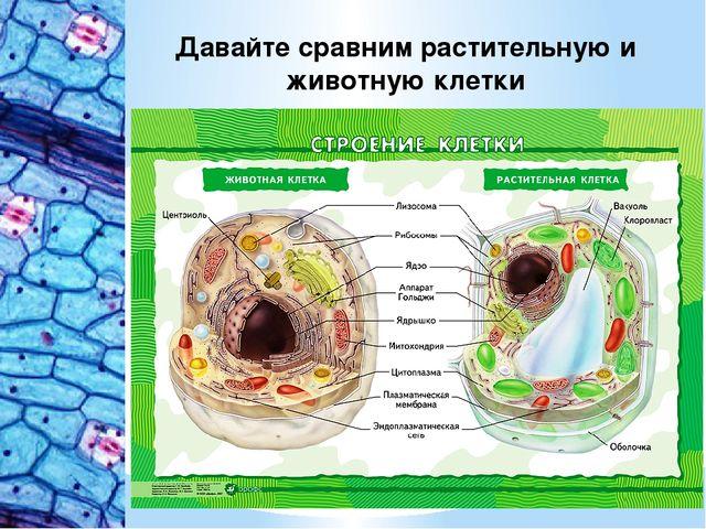 Давайте сравним растительную и животную клетки