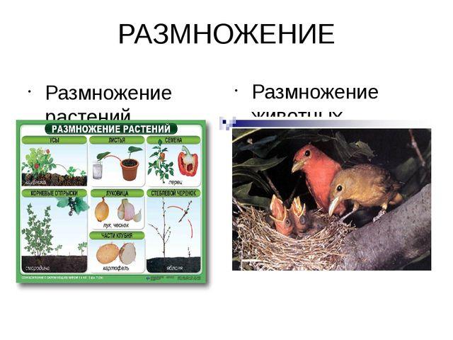 РАЗМНОЖЕНИЕ Размножение растений Размножение животных