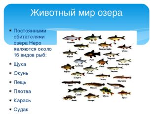 Постоянными обитателями озера Неро являются около 16 видов рыб: Щука Окунь Ле