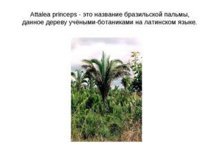 Attalea princeps - это название бразильской пальмы, данное дереву учёными-бо