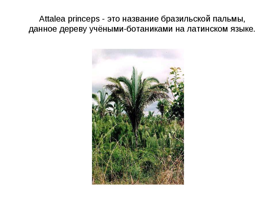 Attalea princeps - это название бразильской пальмы, данное дереву учёными-бо...