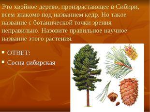 Это хвойное дерево, произрастающее в Сибири, всем знакомо под названием кедр.