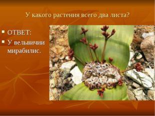 У какого растения всего два листа? ОТВЕТ: У вельвичии мирабилис.