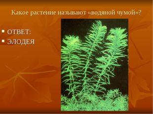 Какое растение называют «водяной чумой»? ОТВЕТ: ЭЛОДЕЯ