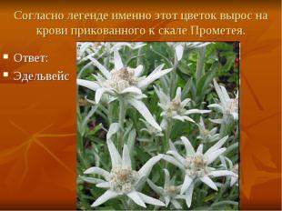 Согласно легенде именно этот цветок вырос на крови прикованного к скале Проме