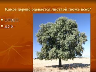 Какое дерево одевается листвой позже всех? ОТВЕТ: ДУБ