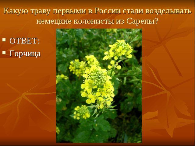Какую траву первыми в России стали возделывать немецкие колонисты из Сарепы?...