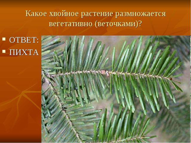 Какое хвойное растение размножается вегетативно (веточками)? ОТВЕТ: ПИХТА