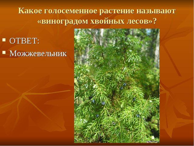 Какое голосеменное растение называют «виноградом хвойных лесов»? ОТВЕТ: Можже...