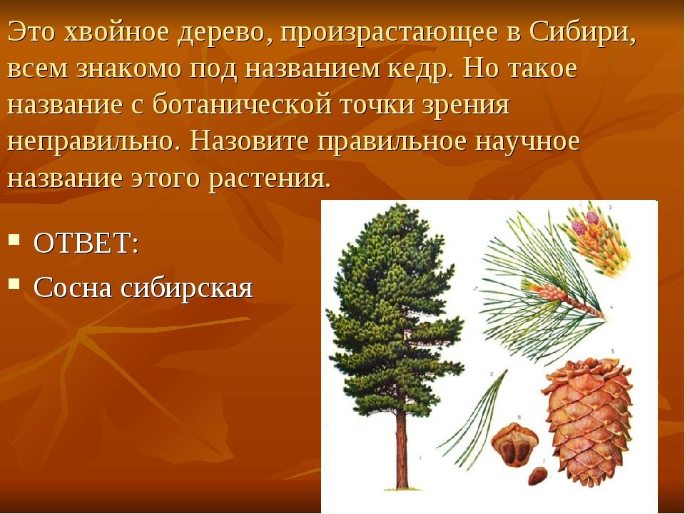 Это хвойное дерево, произрастающее в Сибири, всем знакомо под названием кедр....