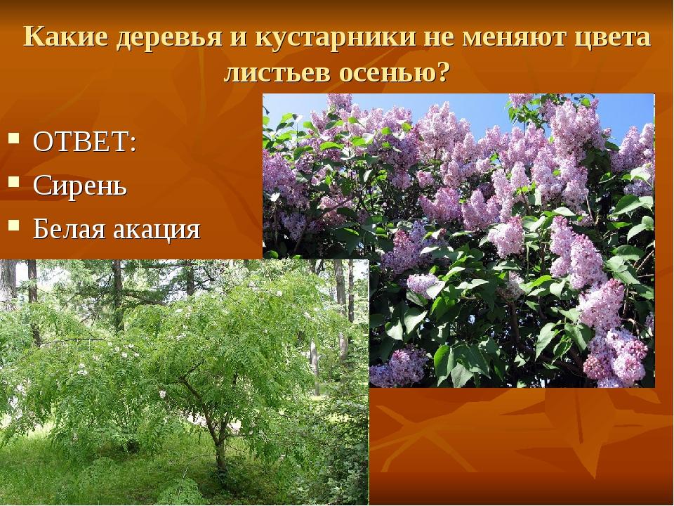 Какие деревья и кустарники не меняют цвета листьев осенью? ОТВЕТ: Сирень Бела...