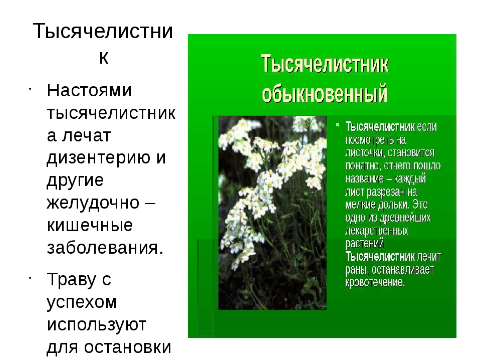 Тысячелистник Настоями тысячелистника лечат дизентерию и другие желудочно – к...