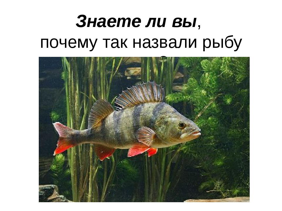 Знаете ли вы, почему так назвали рыбу окунь?