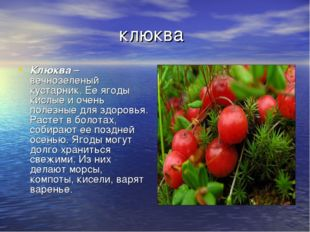 клюква Клюква– вечнозеленый кустарник. Ее ягоды кислые и очень полезные для