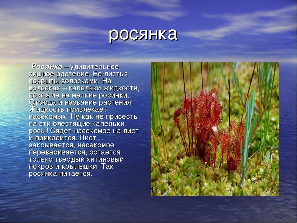 росянка Росянка– удивительное хищное растение. Ее листья покрыты волосками...